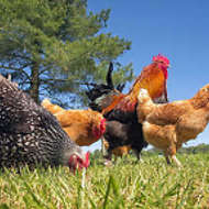 Free Range Chickens & Rooster