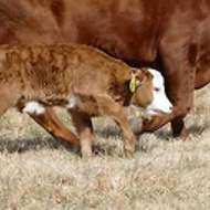 Mini-Hereford Calf for Sale