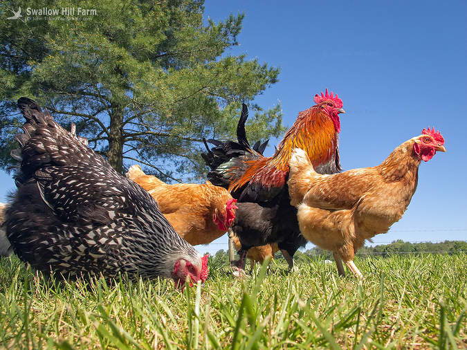 Image result for free range chickens, image