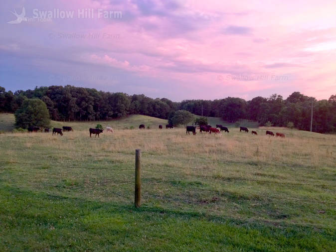 Grass Fed Cattle on Pasture