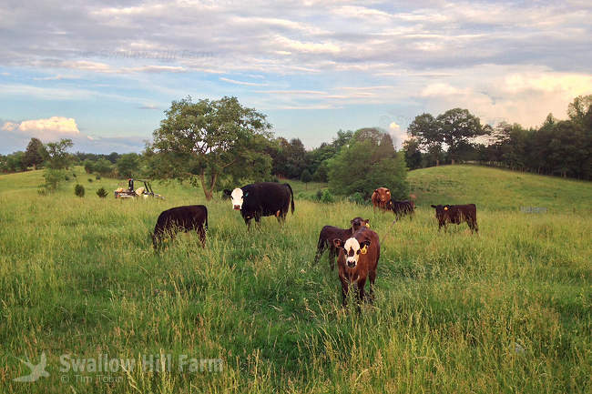 grass fed based farms Grass fed beef raising our cattle our cattle never receive any grain, and are finished on the same pastures where they spend their entire lives, making them healthier for you and for the environment.