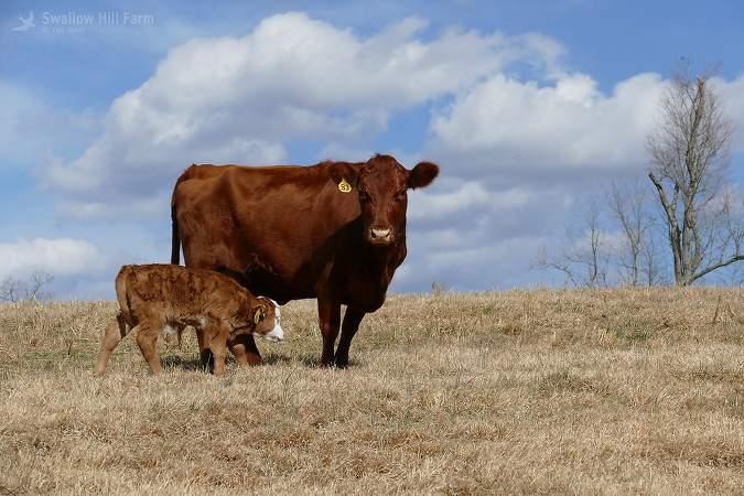 Red Angus & Mini-Steer
