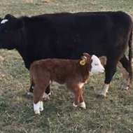 Lowline Angus w/ Mini-Hereford